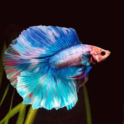 Fish spotlight - Siamese fighting fish